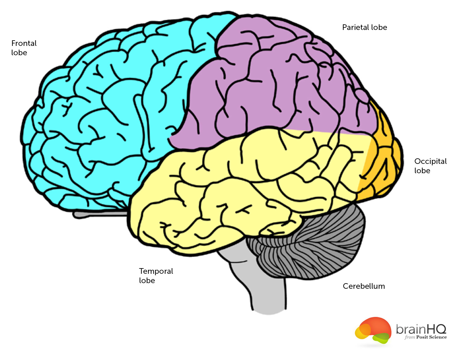 Picture of brain anatomy