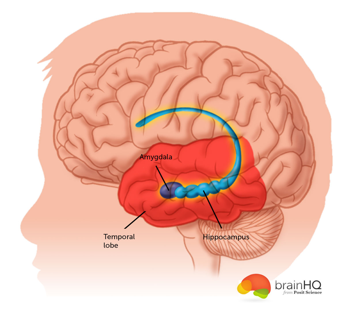 Brain Anatomy Image Gallery Brainhq From Posit Science