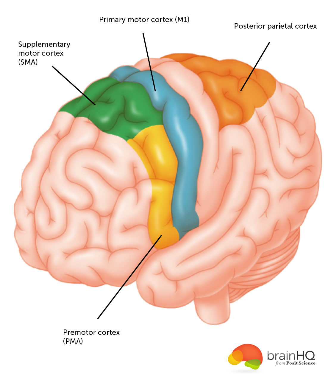 Motor cortex brainhq from posit science this diagram indicates where the supplementary motor cortex primary motor cortex posterior parietal cortex and premotor cortex are located ccuart Gallery