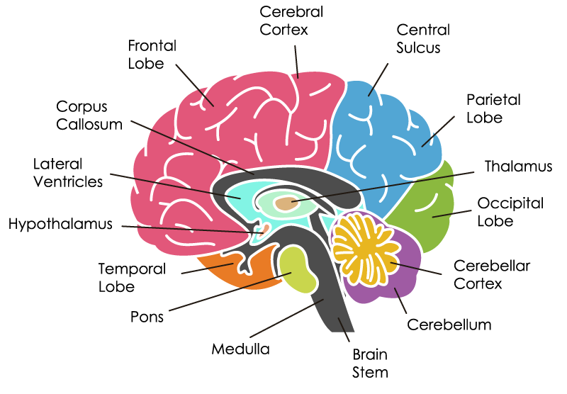The Brain 101 - BrainHQ from Posit Science
